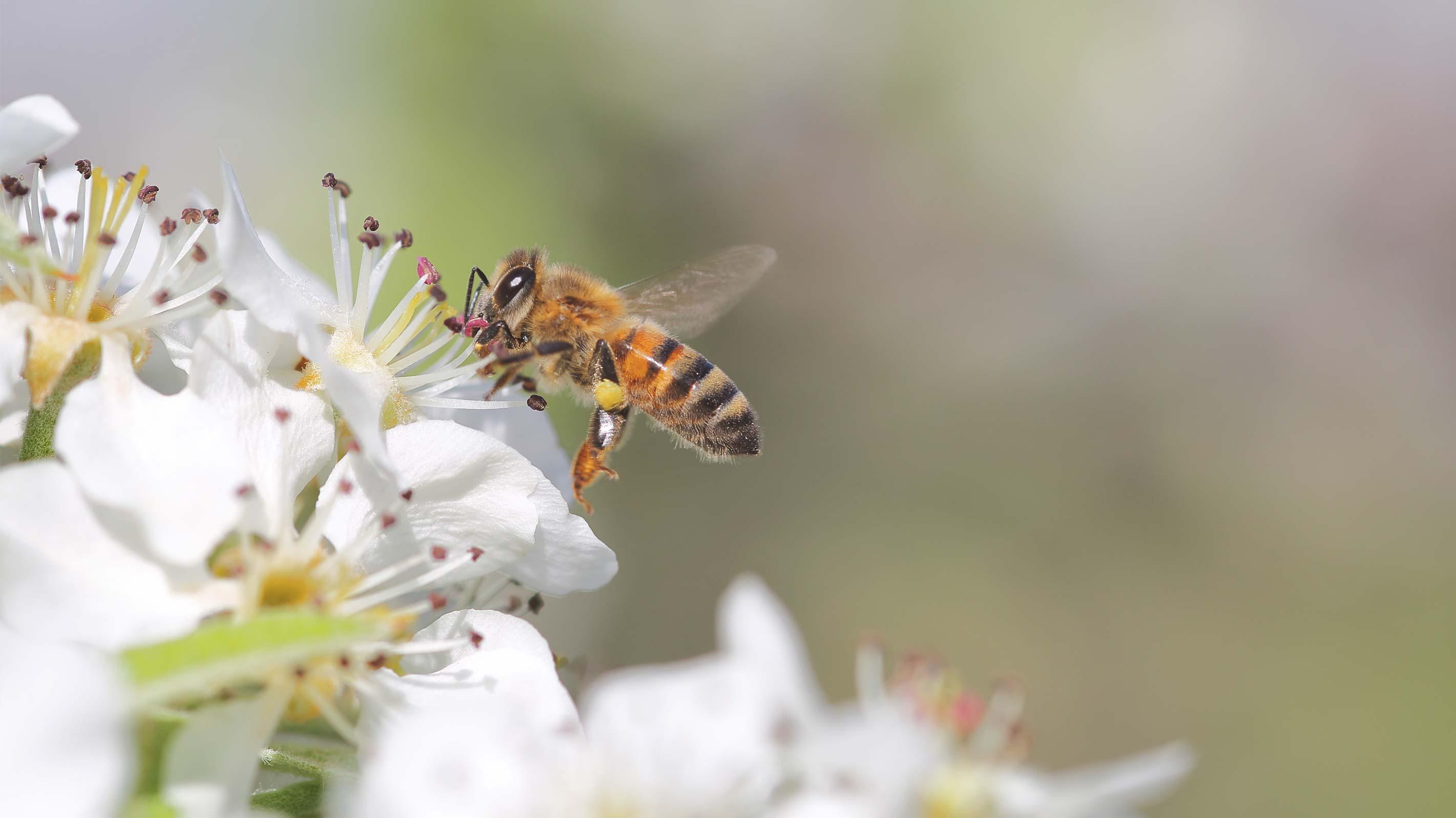Bienen retten: Wilde Biene an einer Blume
