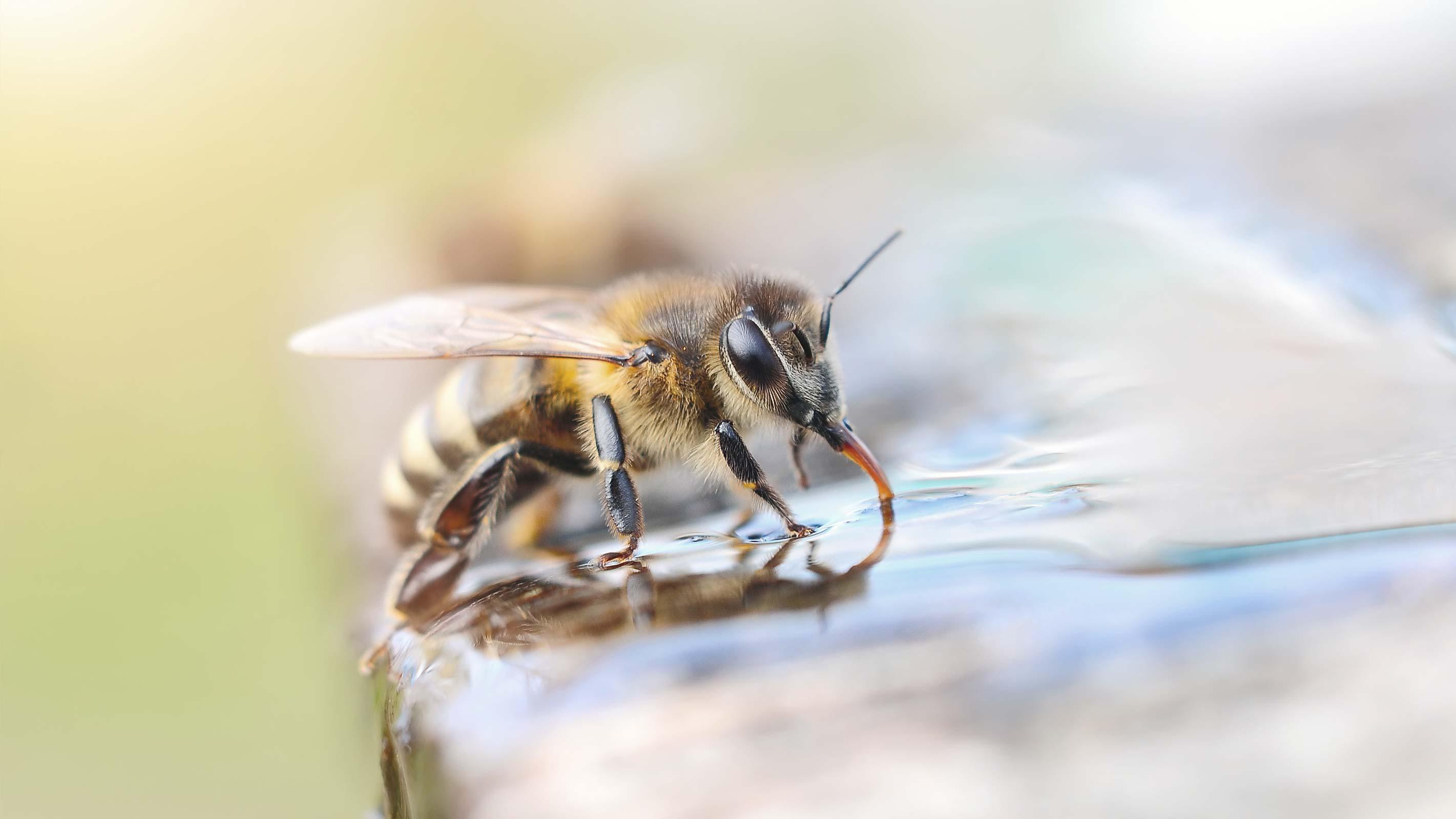 Bienen retten: Biene beim Trinken